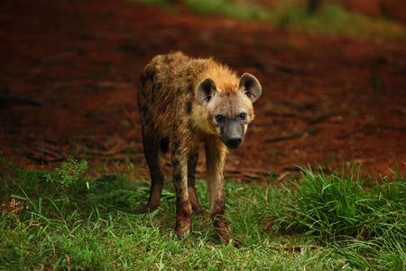 hienas: Las hienas están buscando comida. Foto de archivo