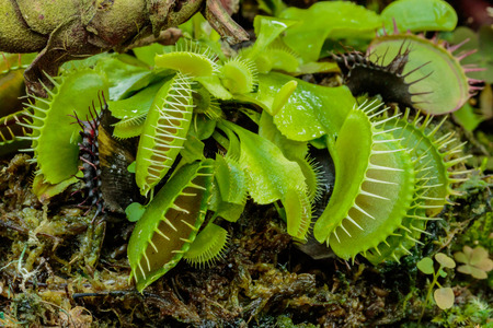 The many colorful Venus Flytrap
