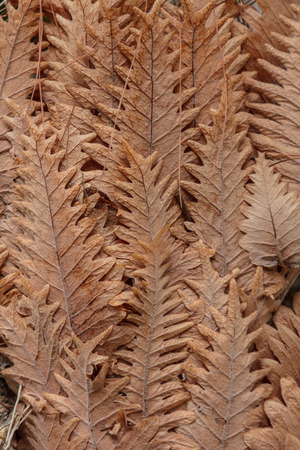 nicely: Brown leaves lined overlap nicely. Stock Photo