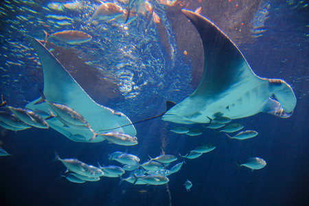 carribean: Stingrays and small fish are swimming in the ocean.