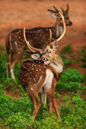 koyo: Deer are cleaning its feathers. Stock Photo
