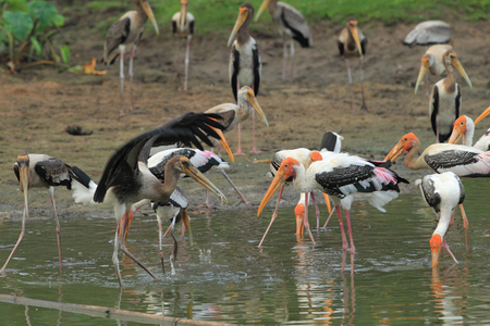 flay: Pelicans in the mouth with a long, beautiful gestures. Stock Photo