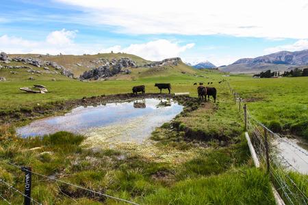 refreshing: Cows near the lagoon, refreshing up
