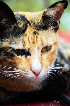 Ragdoll cat Stock Photo