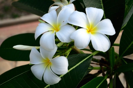 Frangipani  isolated  Stock Photo - 13074185