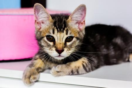 inocent: American short hair kitten