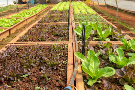 Organic vegetable farming in North of Thailand 写真素材