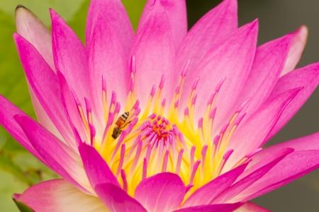 purple lotus and honey bee  Stock Photo