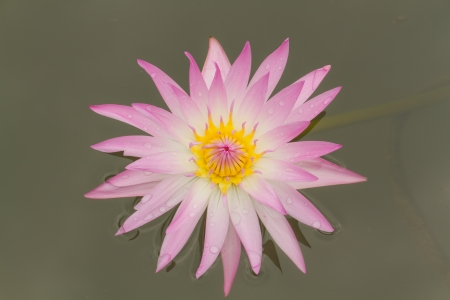 Pink water lily in pond  Stock Photo