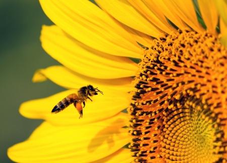 Bee and sunflower closeup