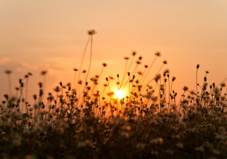 Grass flower and sunset background