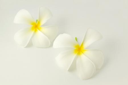White frangipani on white background, flower of laos