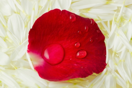 Red petals and drops on white Stock Photo