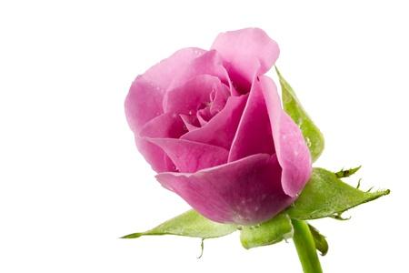 Purple roses isolated on white Stock Photo