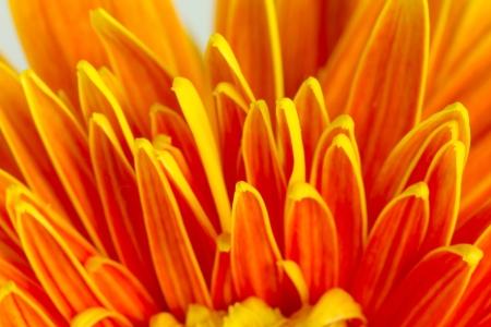 Closeup of gerbera petals Stock Photo