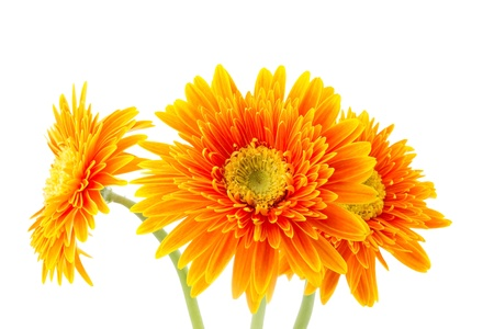 Three gerbera flowers isolated on white photo