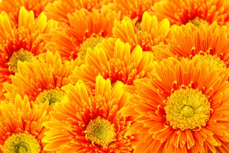 Gerbera isolated on white photo