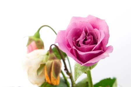 Fresh pink roses with withered rose background