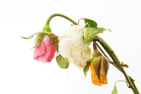 Withered roses on white background Stock Photo