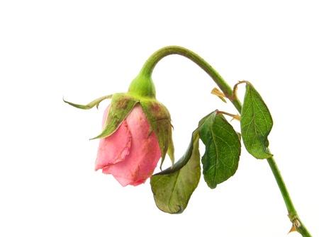 sapless: Rosa appassita su sfondo bianco