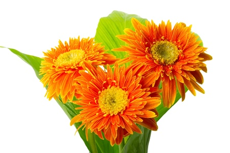 Gerbera bouquet on green leaf isolated on white photo