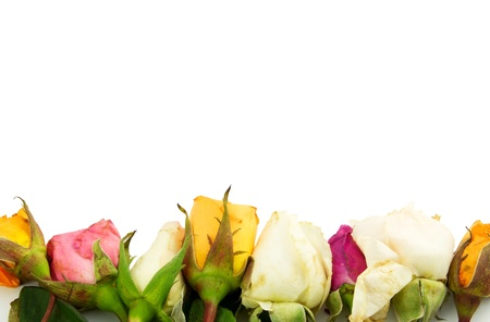 Group of roses isolated on white