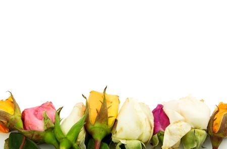 sapless: Gruppo di rose isolato su bianco Archivio Fotografico