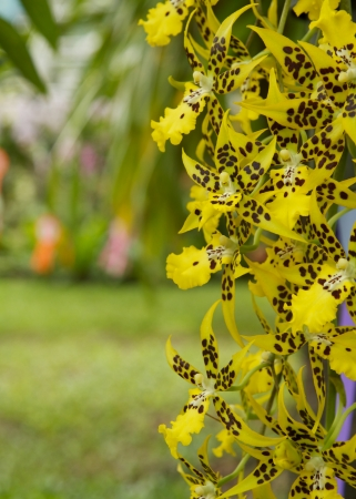 Yellow orchid and blur background photo