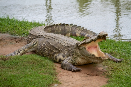 Crocodile with open mouth photo