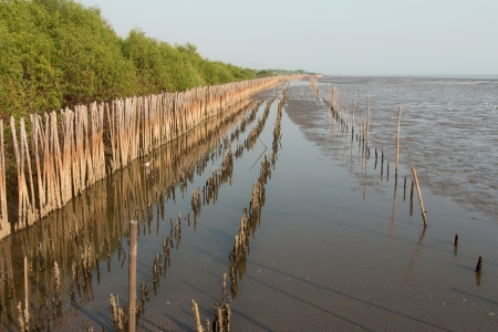 mangrove forest: Bamboo wall to protect  mangrove forest