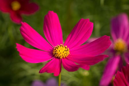 Cosmos flower in garden Stock Photo