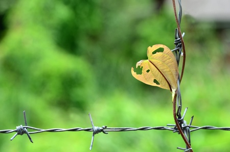 Plant creep on barbed wire photo