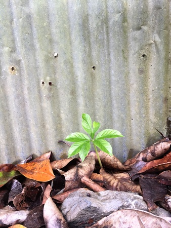 A tiny green plant growing successfully from dead brown leaves on dirty floor with the background of rusty metal wall.