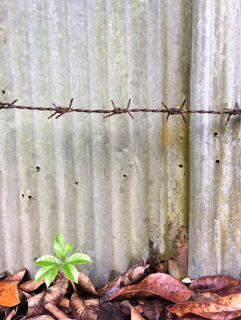 A tiny green plant growing successfully from dead brown leaves on dirty floor with the background of rusty metal wall and barbed wire fence.