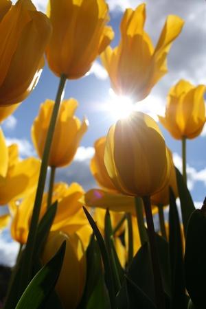 Yellow Tulip with Sun Beam Stock Photo - 10847412