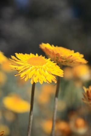 clr: Yellow Flowers in Royal Botanic Garden