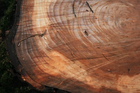 Annual Rings - cross section of tree trunk photo
