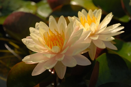 yellow stamens: off white lotus with foliage