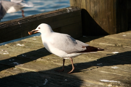 web footed: Seagull eating food near the dock