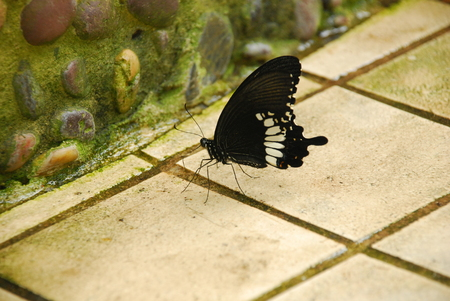 mimo: La mariposa Mime Común