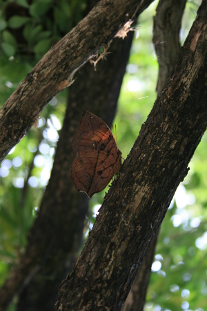 edel: Butterfly Orange Oakleaf