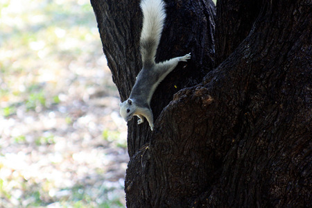 close up squirrel or small gong 版權商用圖片