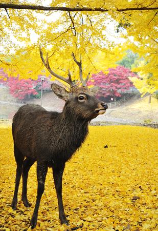 Holy Japanese deer during autumn in Todaiji Temple, Nara, Osaka, Japan Stock Photo