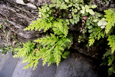 Green fern in jungle, growing from the rocks Stock Photo