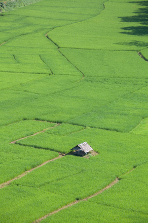 blue green background: rice field