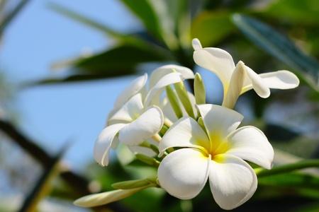 Plumeria flowers Stock Photo - 10371677