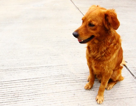 Golden Retriever mix
