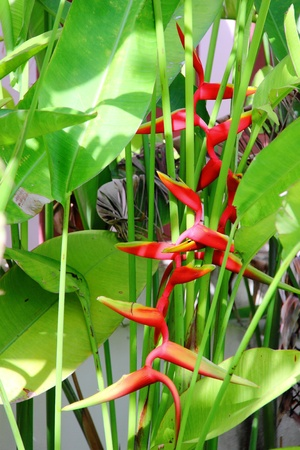Tropical flower Heliconia Stock Photo - 10371681