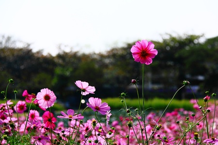 Cosmos flowers Stock Photo - 10376600