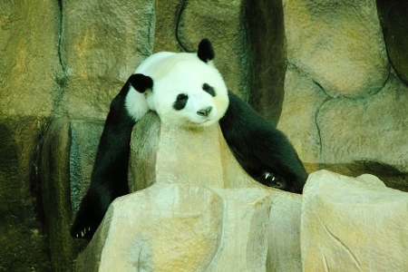 眠っているジャイアント パンダ